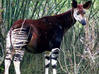 Okapi image