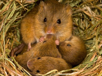 Old World Harvest Mouse Baby