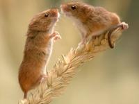 Old World Harvest Mouse image