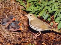 Ovenbird Baby