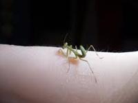 Praying Mantis Baby