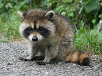 Racoon Baby