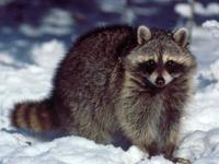 Racoon image