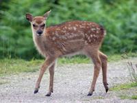 Red Deer Baby