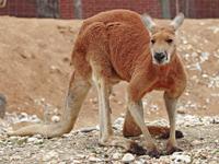 Red Kangaroo image