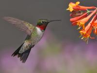 Ruby-Throated Hummingbird image