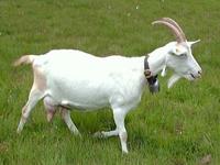 Saanen Domestic Goat image