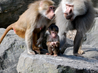 Sacred Baboon Baby