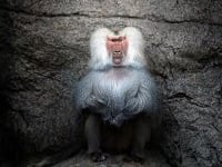 Sacred Baboon image