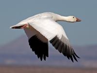 Snow Goose image