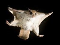 Southern Flying Squirrel image