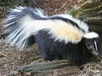 Striped Skunk image