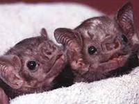 Vampire Bat Baby