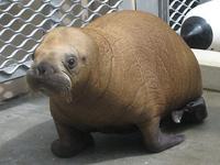 Walrus Baby