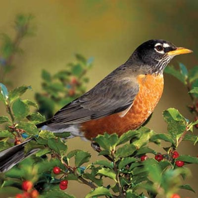 audubon collection, wildlife protection buffalo jigsaw puzzle, american robin americanrobin