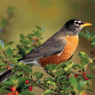 audubon collection, wildlife protection buffalo jigsaw puzzle, american robin americanrobin