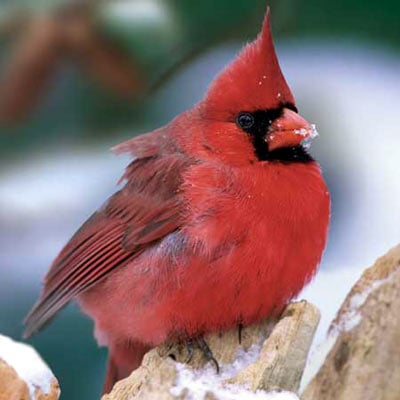 audubon collection, wildlife protection buffalo jigsaw puzzle, northern cardinal northerncardinaliii