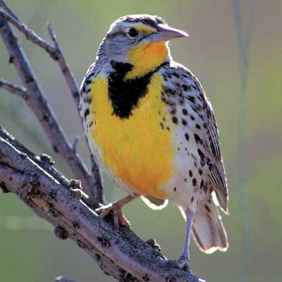 audubon collection, wildlife protection buffalo jigsaw puzzle, western meadowlark westernmeadowlark