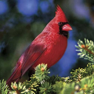 audubon collection, wildlife protection buffalo jigsaw puzzle, northern cardinal northerncardinalii