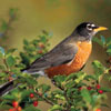 audubon collection, wildlife protection buffalo jigsaw puzzle, american robin Puzzle