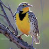 audubon collection, wildlife protection buffalo jigsaw puzzle, western meadowlark
