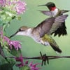 audubon collection, wildlife protection buffalo jigsaw puzzle, ruby-throated hummingbird