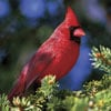 northerncardinalii,audubon collection, wildlife protection buffalo jigsaw puzzle, northern cardinal