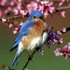 easternbluebirdii,audubon collection, wildlife protection buffalo jigsaw puzzle, eastern bluebird