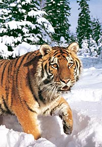 1000 pieces jigsaw puzzle by castorland, winter syberian tiger wintersyberiantiger