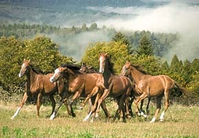 wild horses photo, castorland jigsaw puzzle, 1500 pieces wildhorses