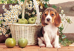 puppy with apples, jigsaw puzzle, 1500 pieces castorland puppywithapples