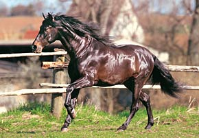 andalusian horse jigsaw puzzle, castorland 1500 pieces jigsaw andalusianhorse