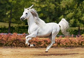 andalusian horse jigsaw puzzle, 1500 pieces by castorland gallopingandalusian