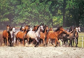 herd of horses photograph, castorland jigsaw puzzle 2000 pieces herdofhorses