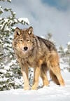 wolf,1000 pieces jigsaw puzzle by castorland, wolf in the winter