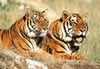 1000 pieces jigsaw puzzle by castorland, tigers relaxing Puzzle