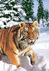 1000 pieces jigsaw puzzle by castorland, winter syberian tiger