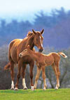 mareandfoal,1000 pieces jigsaw puzzle by castorland, mare and foal
