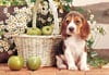 puppy with apples, jigsaw puzzle, 1500 pieces castorland