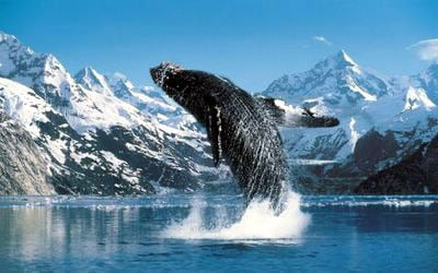 the whale jigsaw puzzle, humpback whale clementoni puzzle, 1000 pieces thewhale