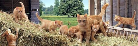 ginger cat family, panorama puzzle, clementoni jigsaw puzzle, 1000 pieces panoramagingercatfamily