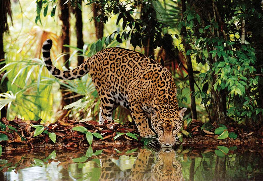 2000 piece jigsaw puzzle of a leopard by clementoni leopard-2000