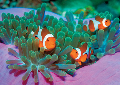 clementoni jigsaw puzzle, 1000 pieces, clown fishes clown-fishes-clementoni-animals-collection