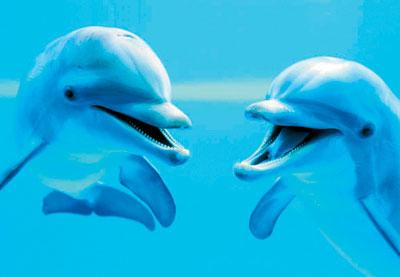 clementoni jigsaw puzzle, 1000 pieces, dolphins dolphins-clementoni-jigsaw-puzzle