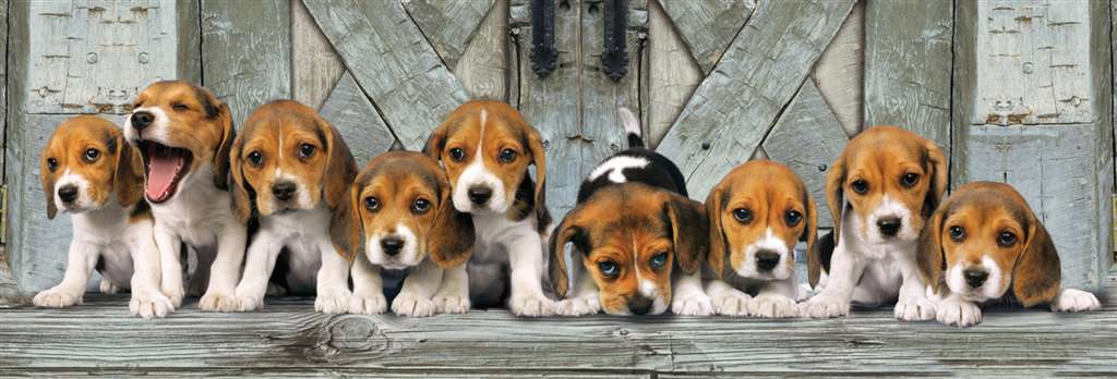 beagle dogs family, 1000 puzzle, all in a row, clementoni jigsaw puzzle, 1000 pieces, 39076 beagles-panoramic