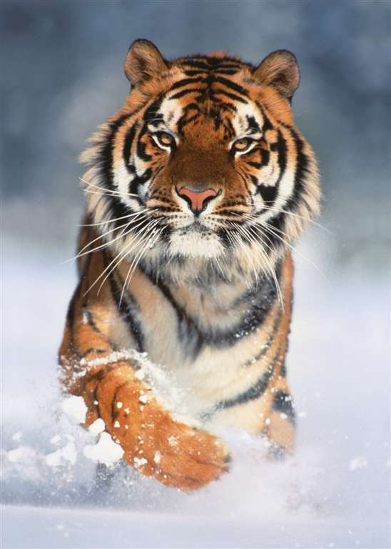 clementoni jigsaw puzzle, 1000 pieces, photo of a majestic tiger in the winter snow by clementoni tiger-1000