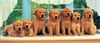 dog family, panorama puzzle, all in a row, clementoni jigsaw puzzle, 1000 pieces