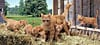 ginger cat family, panorama puzzle, clementoni jigsaw puzzle, 1000 pieces Puzzle