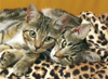 The Eyes of the Cats, 2 cats laying side by side, 1000 pieces jigsaw puzzle made by clementoni # 392 Puzzle