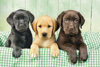 three labrador dogs, 1000 puzzle, all in a row, clementoni jigsaw puzzle, 1000 pieces